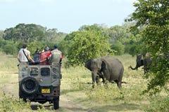 Одичалый азиатский слон в национальном парке Minneriya, Шри-Ланке Стоковое фото RF
