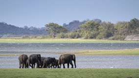Одичалый азиатский слон в национальном парке Minneriya, Шри-Ланке Стоковые Фотографии RF