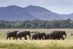 Одичалый азиатский слон в национальном парке Minneriya, Шри-Ланке Стоковая Фотография RF