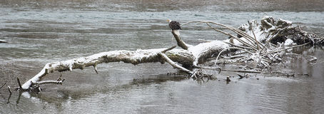 Одичалый американский белоголовый орлан сидя на logon река Skagit внутри Стоковые Фотографии RF