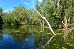 Одичалый ландшафт эвкалиптов растет на лагуне реки в Квинсленде Стоковые Изображения