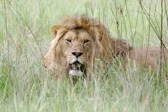 Одичалый африканский лев Стоковые Фотографии RF