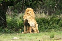 Одичалый африканский лев Стоковые Изображения RF