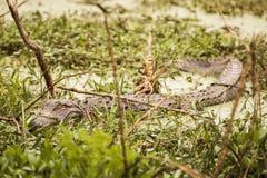 Одичалый аллигатор Mississippiensis американского аллигатора погрузил a в воду Стоковое фото RF