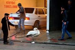 Одичалый далматинский пеликан (crispus Pelecanus) зацеплял и сдержал поводок в Баку, столице Азербайджана Стоковое фото RF