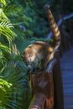 Бел-обнюханный коати Стоковая Фотография RF