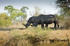 Одичалый белый носорог, национальный парк Kruger, ЮЖНАЯ АФРИКА Стоковая Фотография RF