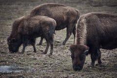 Одичалый бизон пася траву Стоковые Изображения RF