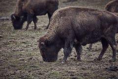 Одичалый бизон пася траву Стоковые Фотографии RF