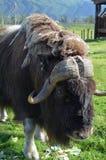 Одичалый бизон Стоковые Изображения