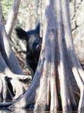 Одичалый боров за деревьями мангровы Стоковая Фотография