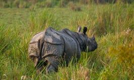 Одичалый большой одн-horned носорог протягивая прочь Стоковые Изображения RF