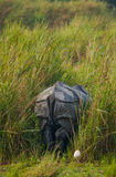 Одичалый большой одн-horned носорог протягивая прочь Стоковые Изображения