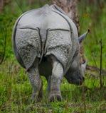 Одичалый большой одн-horned носорог протягивая прочь Стоковое Изображение