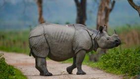 Одичалый большой одн-horned носорог стоит на дороге Стоковое Изображение RF