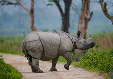 Одичалый большой одн-horned носорог стоит на дороге Стоковые Фото