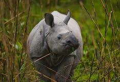 Одичалый большой одн-horned носорог стоит на траве Стоковое Изображение
