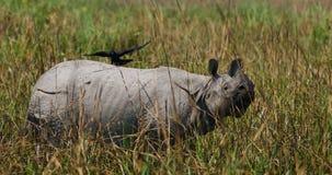Одичалый большой одн-horned носорог стоит на траве Стоковые Фотографии RF
