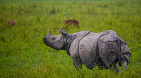 Одичалый большой одн-horned носорог стоит на траве Стоковые Изображения