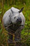 Одичалый большой одн-horned носорог стоит на траве Стоковое фото RF