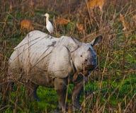 Одичалый большой одн-horned носорог стоит на траве Стоковые Изображения RF