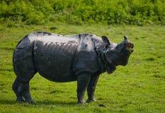 Одичалый большой одн-horned носорог стоит на траве Стоковая Фотография RF