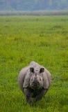 Одичалый большой одн-horned носорог стоит на траве Стоковое Фото