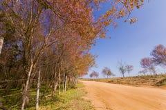 Одичалый гималайский цветок вишни (Сакура Таиланда или cerasoides сливы) на горе Phu Lom Lo, Loei, Таиланде Стоковые Фотографии RF