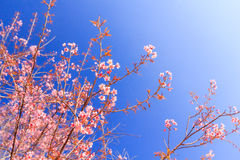 Одичалый гималайский цветок вишни (Сакура Таиланда или cerasoides сливы) на горе Phu Lom Lo, Loei, Таиланде Стоковое фото RF