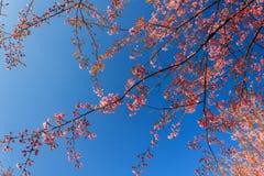 Одичалый гималайский цветок вишни (Сакура Таиланда или cerasoides сливы) на горе Phu Lom Lo, Loei, Таиланде Стоковое Изображение RF