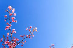 Одичалый гималайский цветок вишни (Сакура Таиланда или cerasoides сливы) на горе Phu Lom Lo, Loei, Таиланде Стоковые Изображения