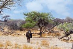 Одичалый гну антилопы гну в африканском кусте Стоковые Фото