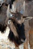 Одичалый гну антилопы гну Стоковое Фото