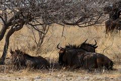 Одичалый гну антилопы гну Стоковые Фотографии RF