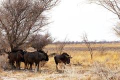 Одичалый гну антилопы гну Стоковые Изображения