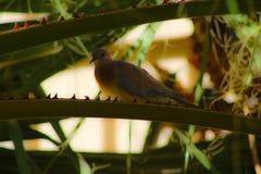 Одичалый голубь Стоковое Фото