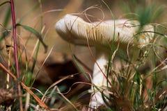Одичалый гриб Стоковое Изображение RF