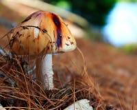 Одичалый гриб стоковые фотографии rf