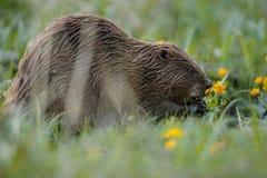 Одичалый европейский бобр в красивой среде обитания природы в чехии Стоковое Изображение