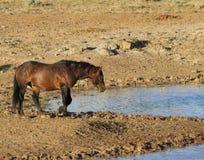 Одичалый жеребец залива на водопое Стоковое Изображение RF