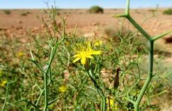 Одичалый желтый цветок в пустыне Стоковые Изображения