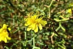 Одичалый желтый цветок в пустыне Стоковое Изображение