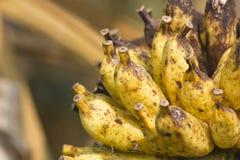 Одичалый желтый цвет банан-крупного плана старый Стоковое Изображение RF