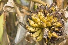 Одичалый желтый цвет банан-крупного плана стар-на дереве Стоковая Фотография