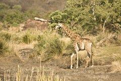 Одичалый жираф в сердце саванны, национального парка Kruger, ЮЖНОЙ АФРИКИ Стоковое Фото