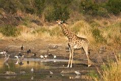 Одичалый жираф в сердце саванны, национального парка Kruger, ЮЖНОЙ АФРИКИ Стоковые Фото