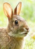 Одичалый зайчик кролика стоковое изображение rf