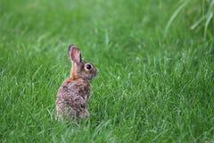 Одичалый зайчик Стоковое фото RF