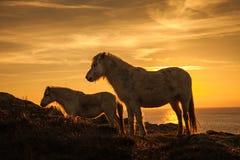 Одичалый заход солнца пони Welsh Стоковое Изображение RF