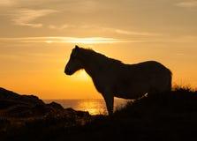 Одичалый заход солнца пони Welsh Стоковое Фото